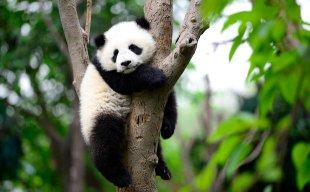 PandaGang